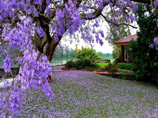 El jacarandá, ese árbol violeta que simboliza el amor y la nostalgia por Irán